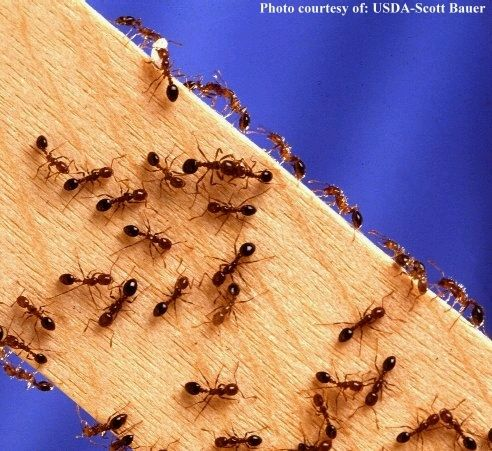 Get Rid of Ants with cornmeal. Put small piles of cornmeal where you see ants. They eat it, take it 'home,' can't digest it so it kills them. It may take a week or so, especially if it rains, but it works and you don't have the worry about pets or small children being harmed! @Christina Hulstine-Rigsby