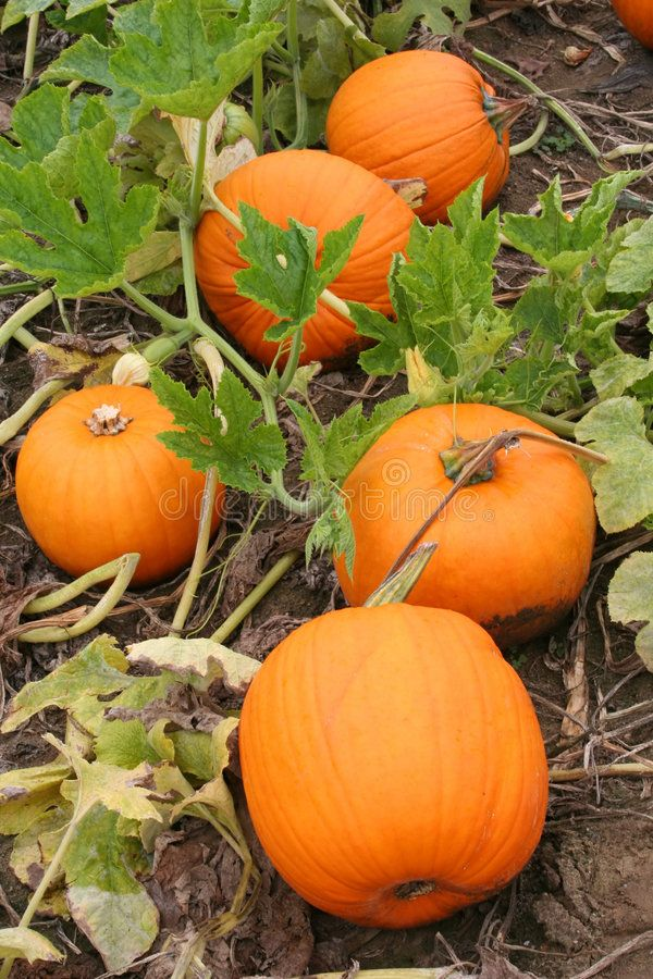 Pumpkin Patch. Five Pumpkins on the Vine are Displayed ,