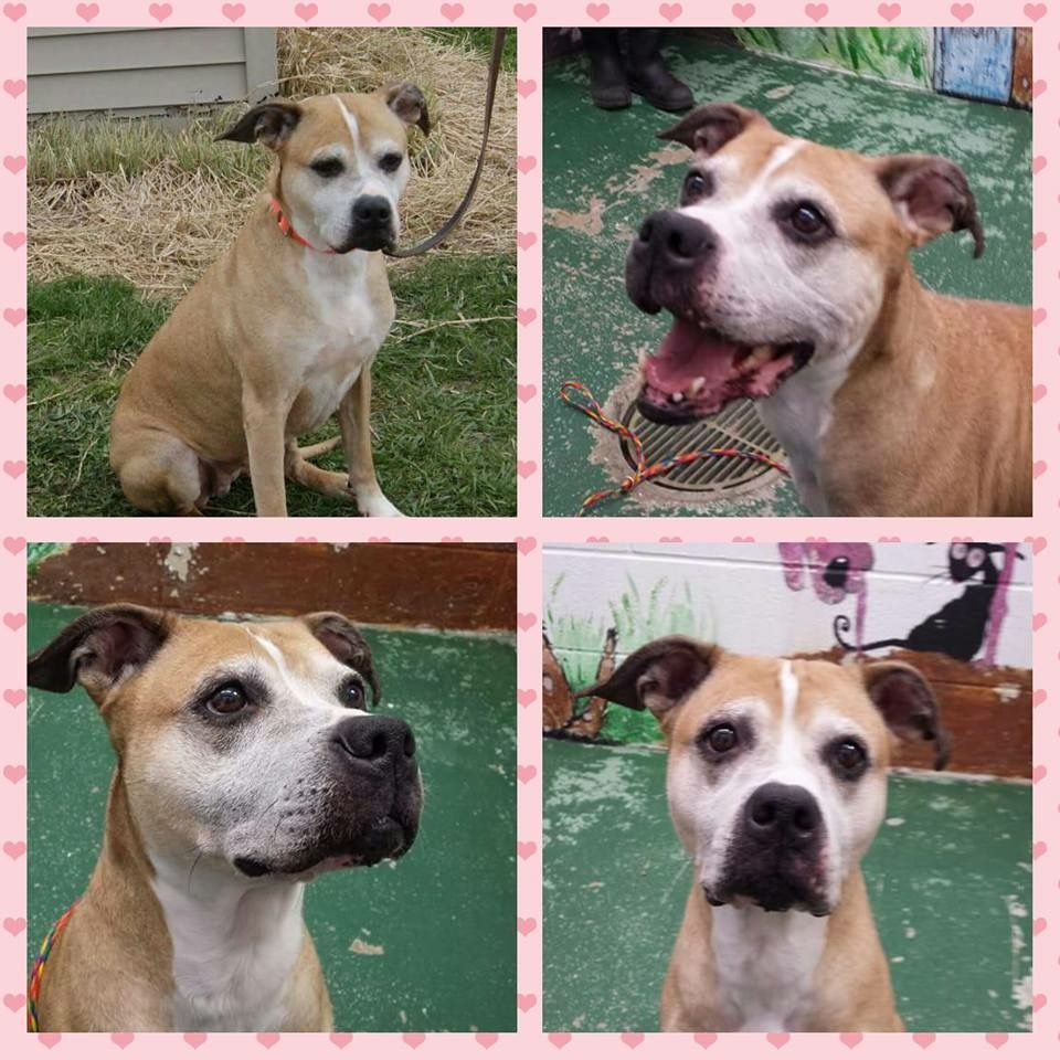 Boxador dog for Adoption in Lake Ann, MI. ADN411896 on