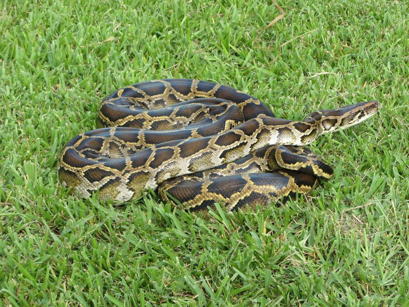 Newly Discovered Hybrid Pythons Are Threatening Florida s Wildlife