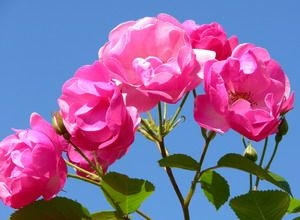 Free moving screensavers flowers screensaver 2 3 4 5 6 - Rose screensaver ...