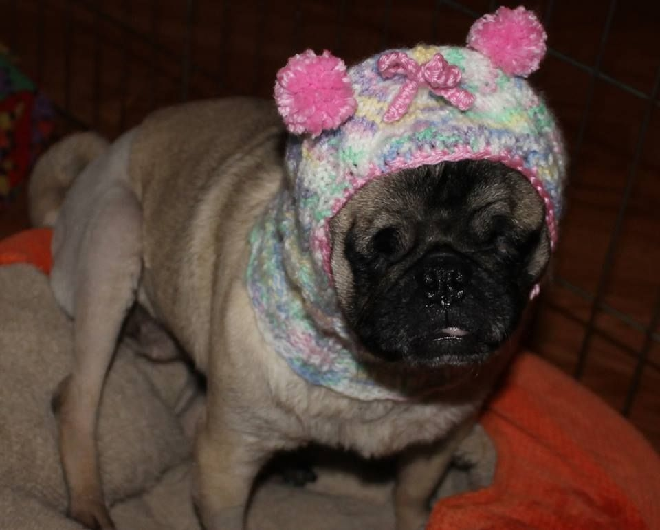 Hannah Of Pug Rescue Network Got A New Hat Pug Rescue Pugs For