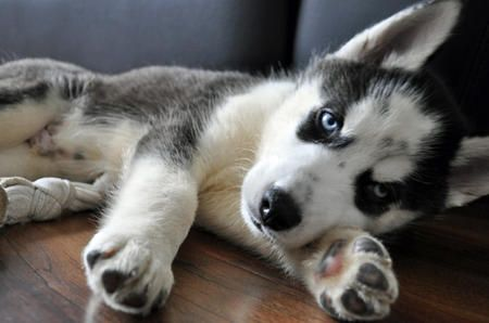 Siberian Husky Pup I Will Have One Of These In The Next 6 Months