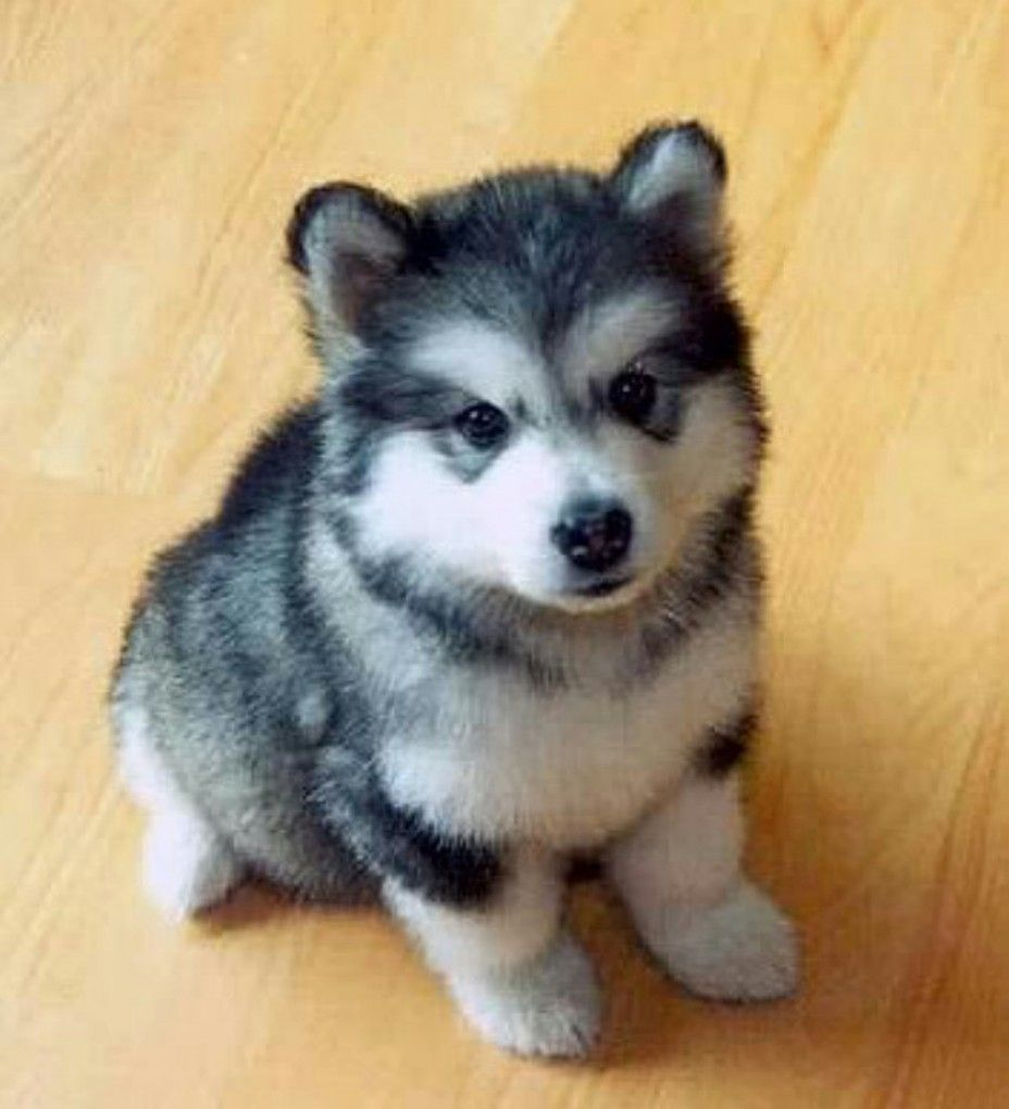 Black And White Pomsky Puppies Little Husky Cute Animals Puppies