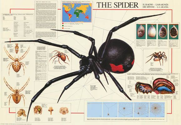 The Spider Arachnid Education Poster 27x39 Spider Animal And