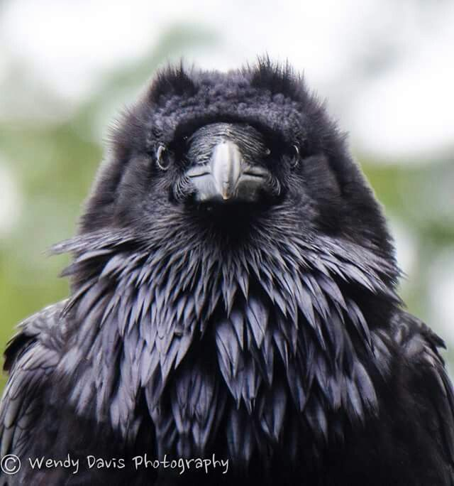 Your Daily Raven By Wendy Davis Photography Raven Bird