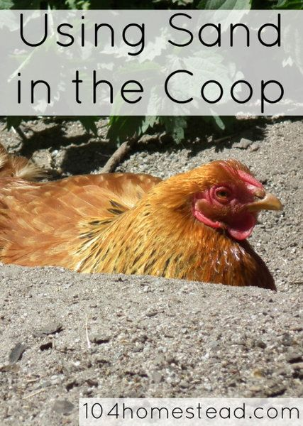 Why Your Backyard Chickens Will Love Sand in Their Coop ...