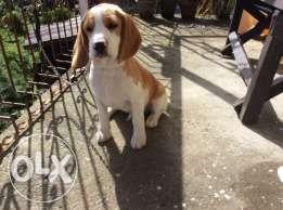 Beagle Puppy Quality Line Pets For Sale Beagle Puppy Pets