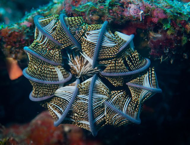 Feather star - in protection mode! by Okinawa Nature Photography, via Flickr