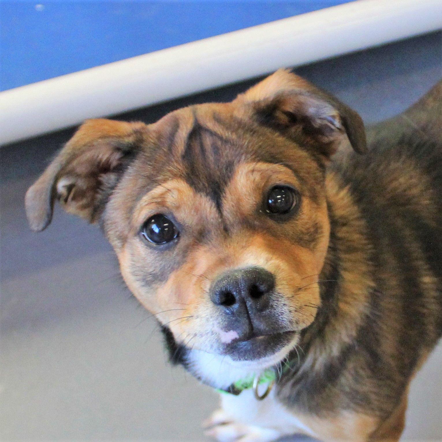 Puggle dog for Adoption in Atlanta, GA. ADN691406 on