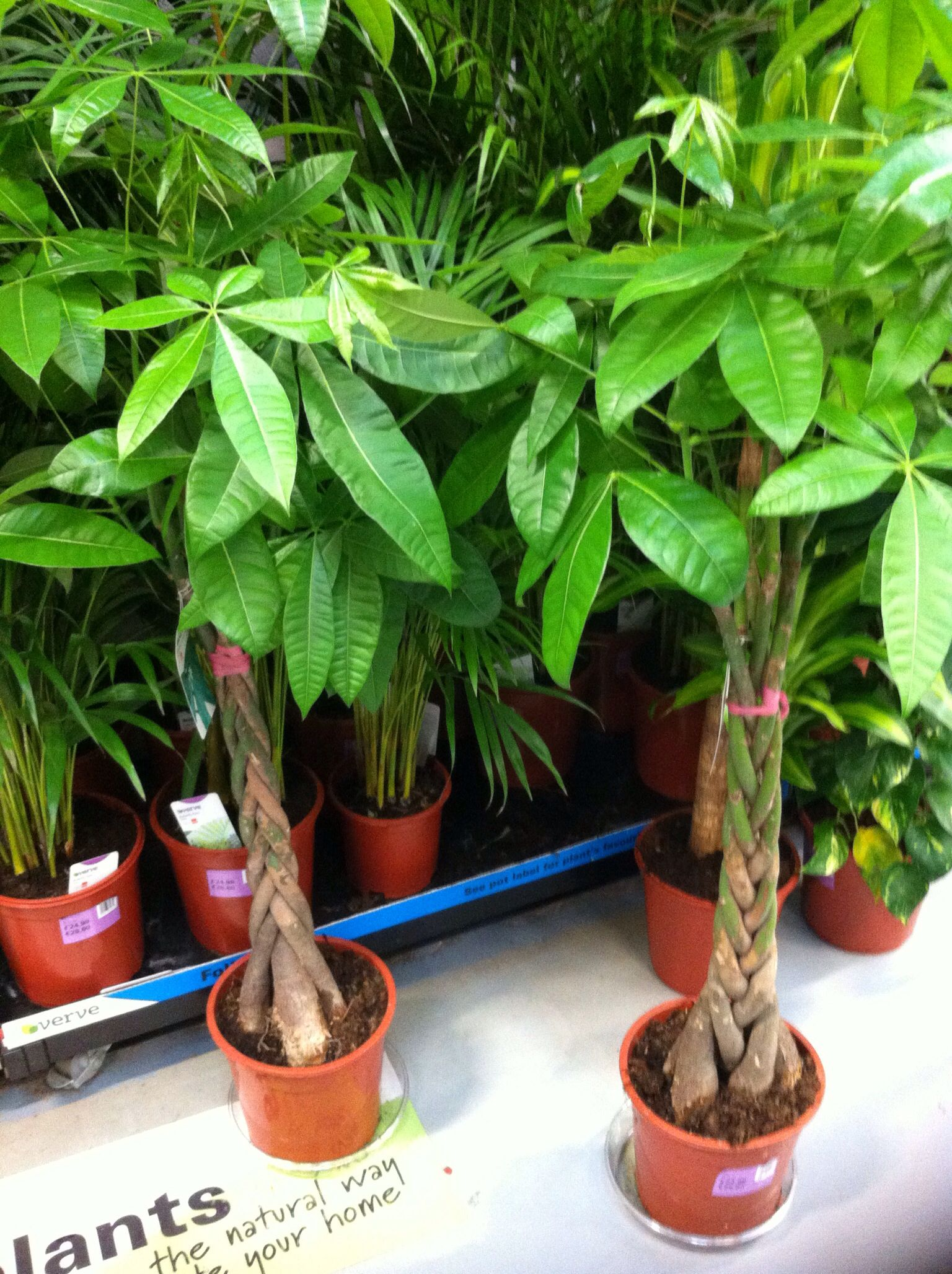 mexican fortune tree houseplants
