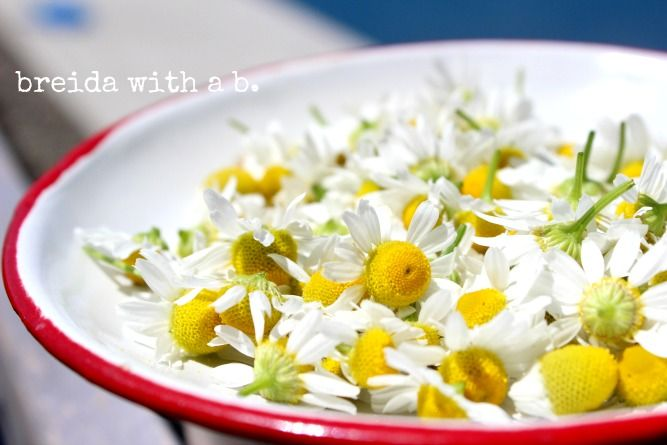 grow your own chamomile and make your own tea! @breidawithab.com