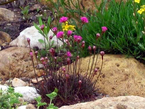 Armeria maritima 'Rubrifolia' - Sea Thrift. Easily grown in infertile, dry, well-drained soil in full sun. Moist and fertile soil often causes the foliage mats to rot in the center.