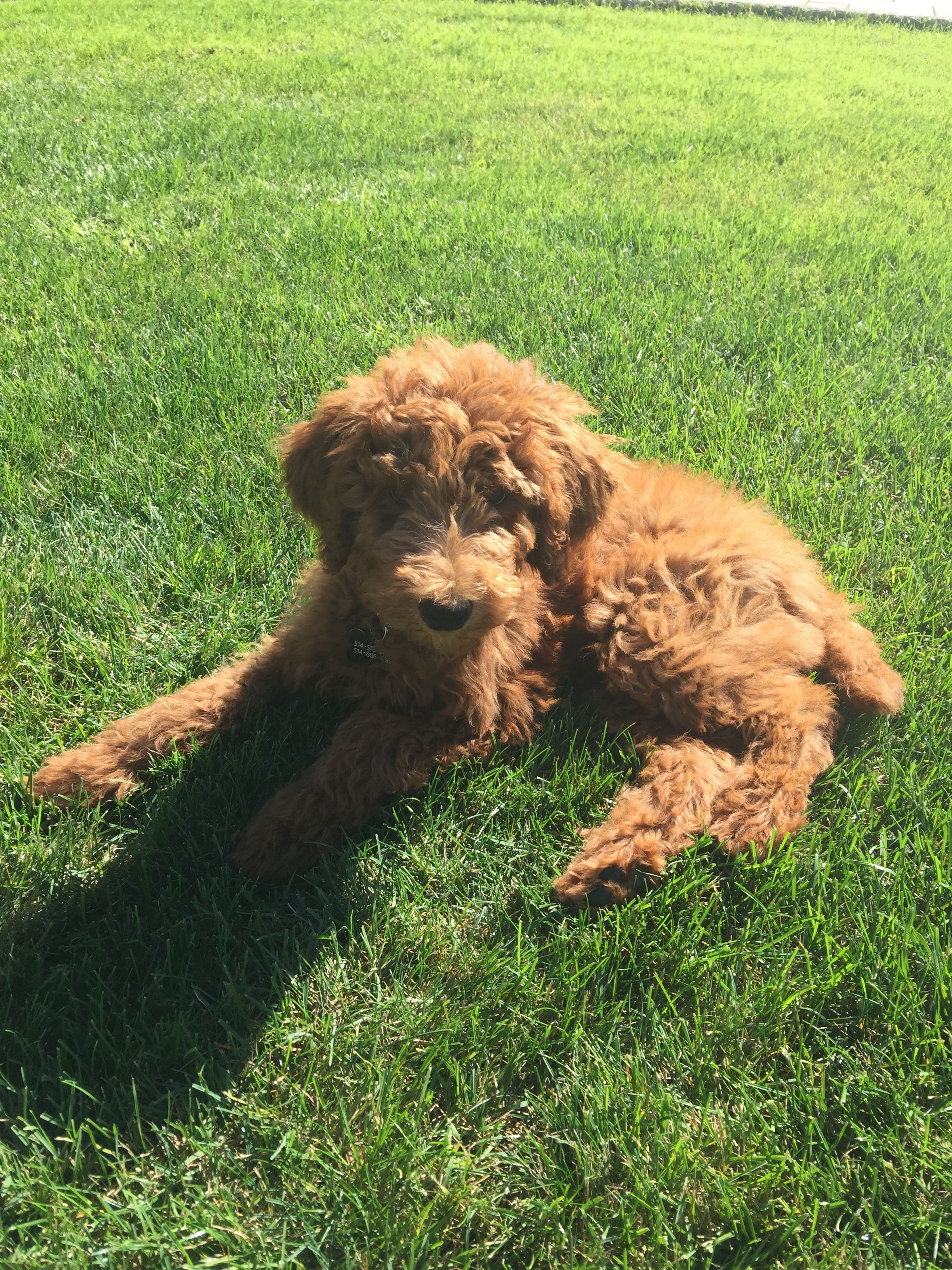 Standard Poodle puppy , Bella Poodle, Dogs, Stop animal
