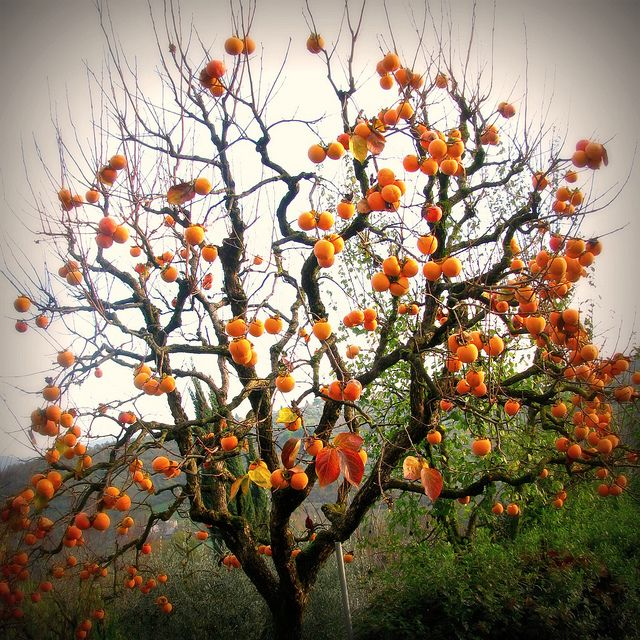 Diospero Persimmon Tree By Giagir Via Flickr Fruit Trees Tree Painting Trees To Plant