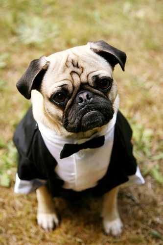 James Bond Pugs In Costume Wedding Pets