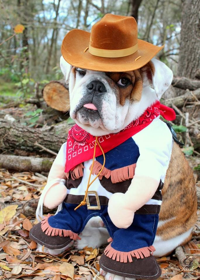 Cowboy Bulldog I English Bulldogs Perros Perros Bonitos