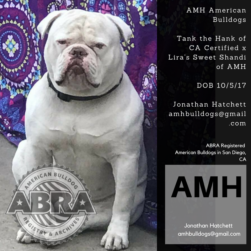 American Bulldog Puppies For Sale ABRA American