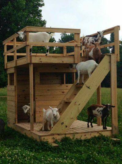 Pygmy Goat House On Pinterest