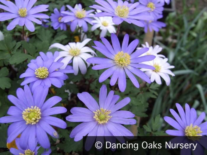 Anemone Blanda Blue Shades Grecian Windflower Anemone Shade Plants Plants