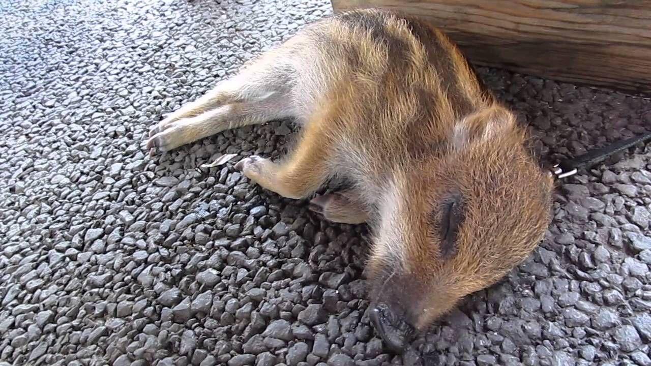 ウリ坊のお昼寝 道の駅あらかわ20140614 youtube ウリ坊 うり坊 フクロウの赤ちゃん