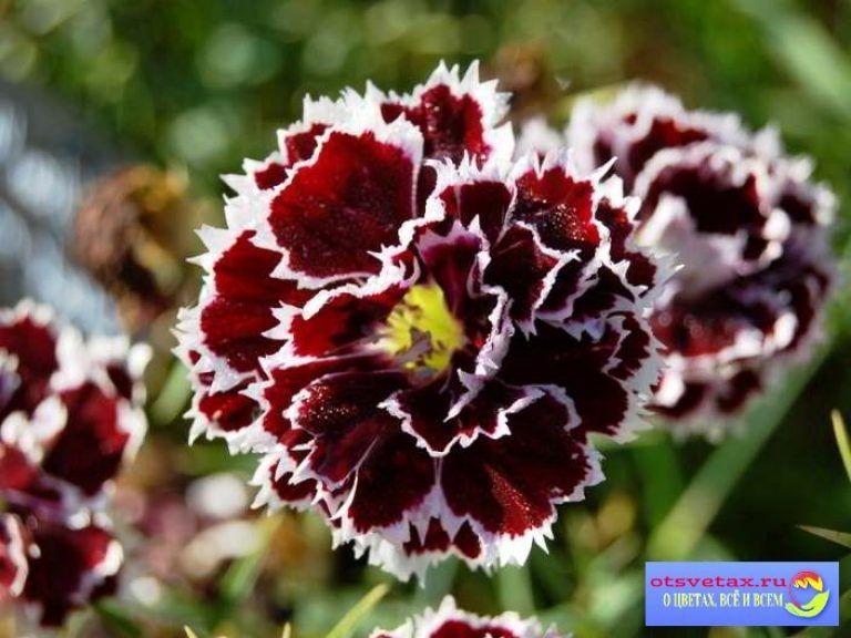 Гвоздика китайская: выращивание из семян 11