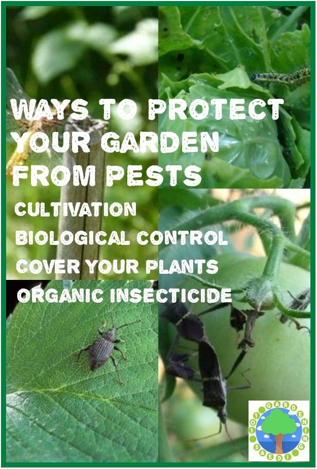 Safe And Effective Ways Of Natural Pest Control In 2020 Organic Plants Natural Pest Control Organic Pesticide