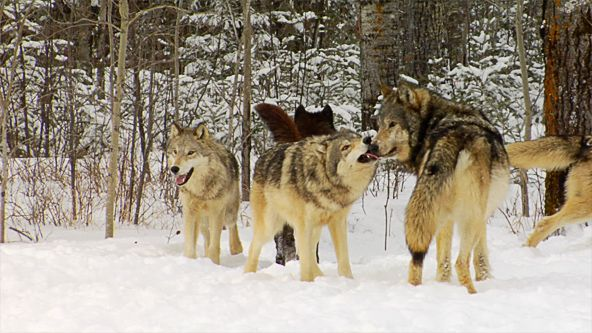 The pack continually reinforces the bonds that bind them as a family