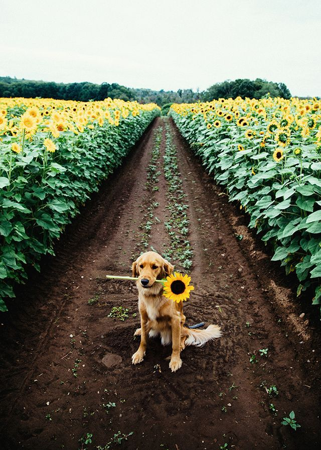 Oh my! I absolutely LOVE those sunflowers! And then to add an adorable dog in the middle! Lol!❤