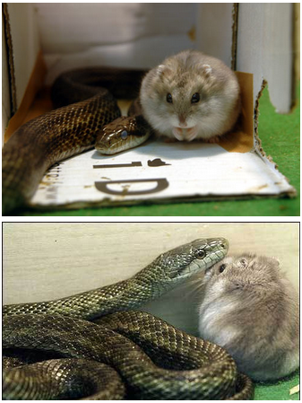 A rodent-eating snake and a hamster have developed an unusual bond at a zoo in Tokyo, Japan. Their relationship began when zookeepers presented the hamster to the snake as a meal. However, the rat snake (named Aochan) refused to eat the rodent. The two now share a cage, and the hamster sometimes falls asleep sitting on top of his natural foe. Zookeepers have since named the hamster 'Gohan' – the Japanese word for meal. How adorable.