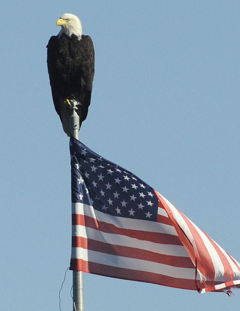 Bald Eagle On American Flag Bald Eagle American Flag America