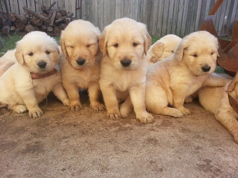 Litter Of 9 Golden Retriever Puppies For Sale In Katy Tx Adn