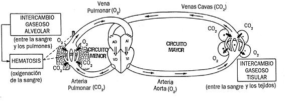Sistema Circulatorio Circuito Mayor Buscar Con Google Circulacion Menor Venas Pulmonares Circulacion Mayor
