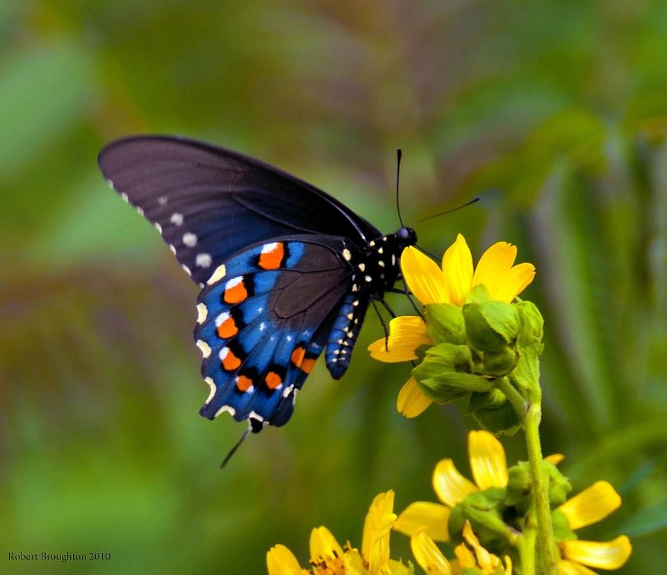 February 2012 melanie dorsey insects pinterest for Butterfly in a flower