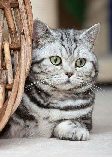 Pin By Joyce Brown On Cats American Shorthair Cat