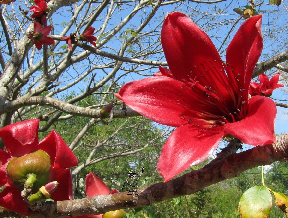 The Kapok Tree has nice red Flowers | Blossoms | Flowers, Planting