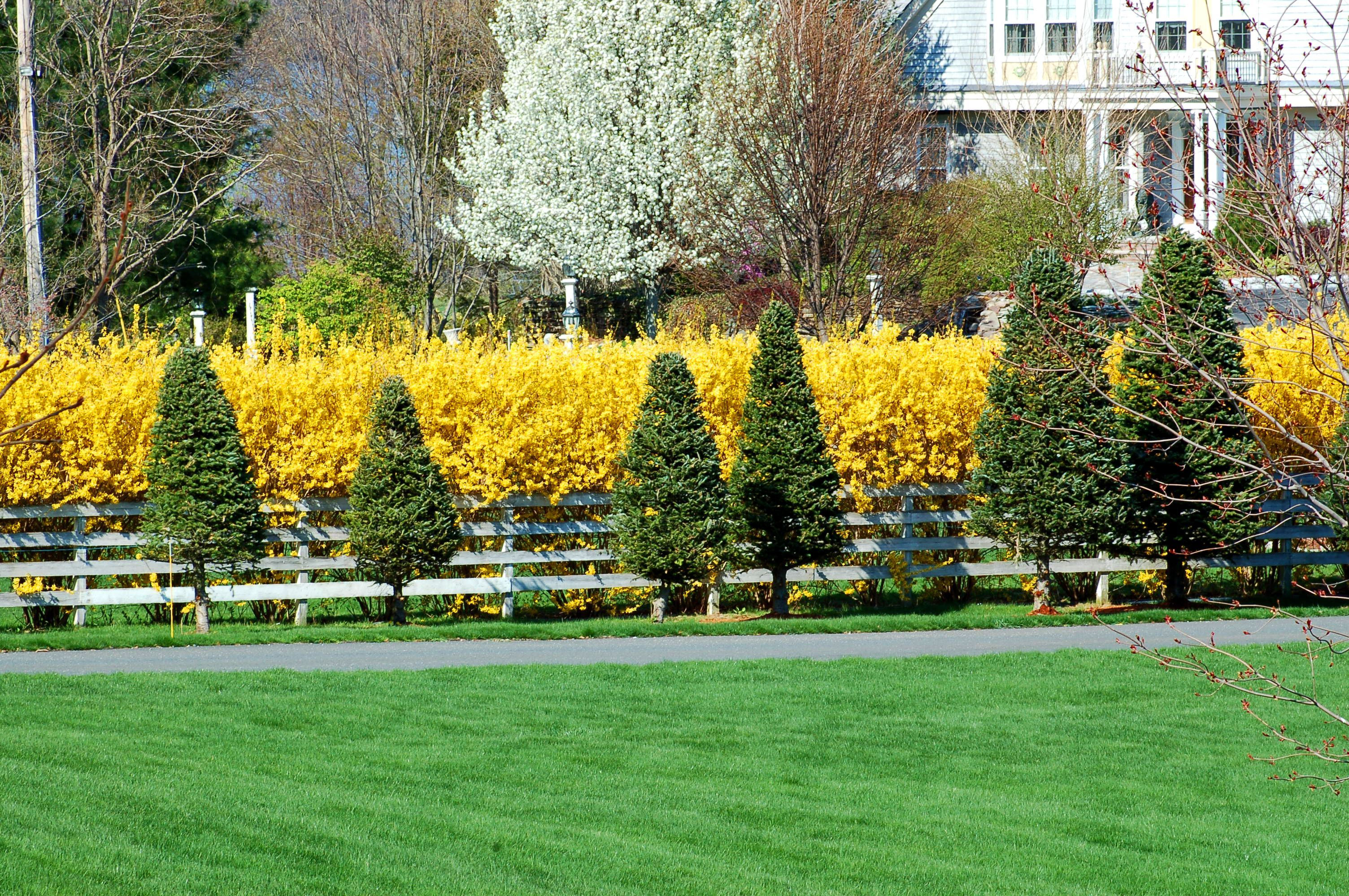 Plant Forsythia Bushes For Yellow Blooms That Herald Spring
