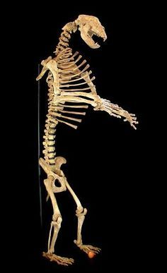 Image result for brown bear skeleton