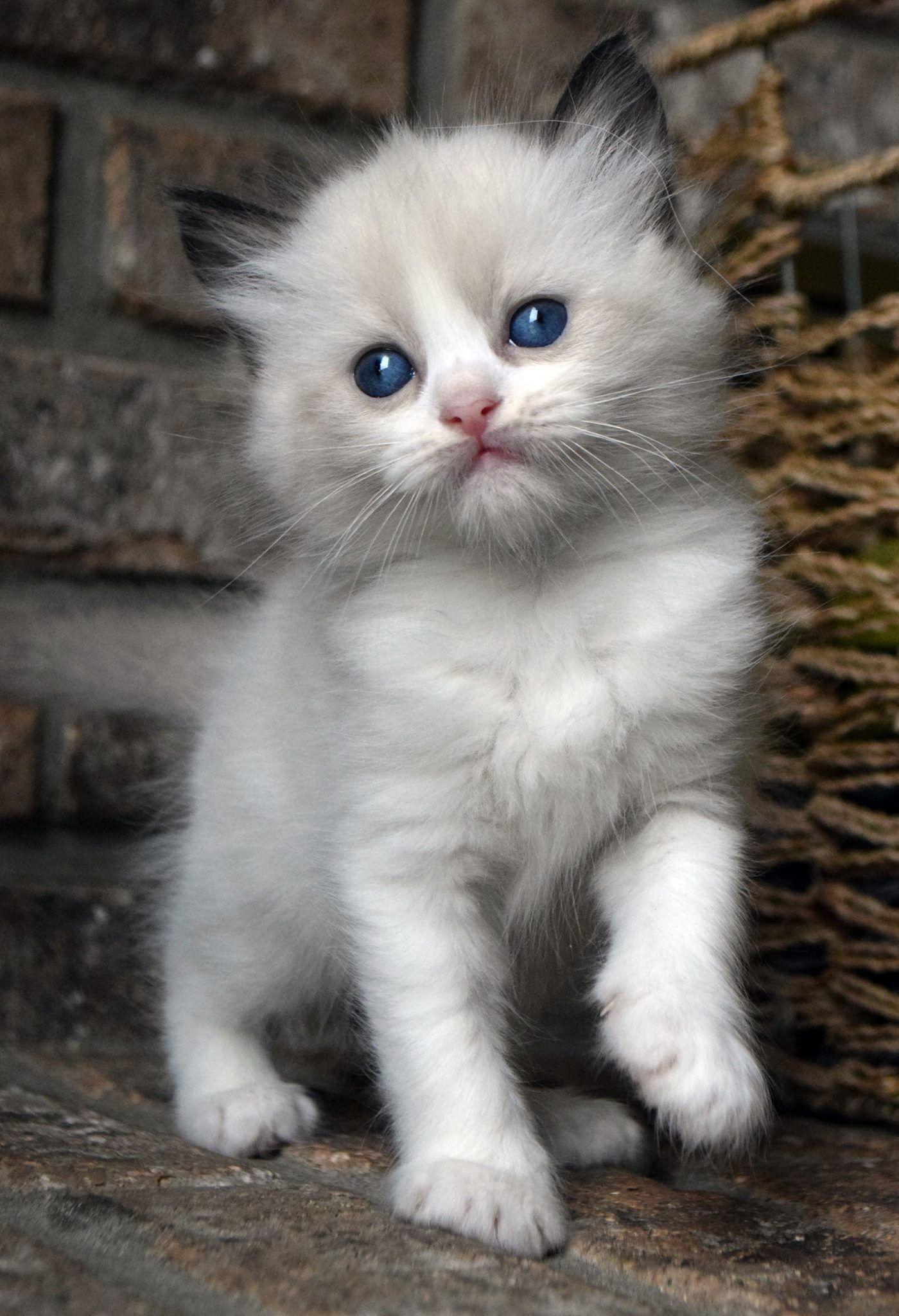 Seal Bi Color Ragdoll Kitten Ohemgee Cats Cat Fluffycat Ragdolls Ragdoll Kittens Sealbicolor Ragdoll Cat Ragdoll Kitten Ragdoll Cats For Sale