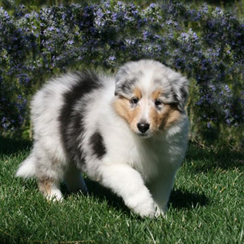 Good Australia Chubby Adorable Dog - 4602d3ccb5ff5a1eee0097b157cddb77  Pictures_949617  .jpg