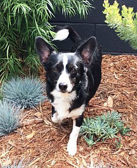 Corgi Border Collie Mix Dog For Adoption In Los Angeles