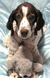 Adopt Nolan On Petfinder Springer Spaniel Puppies Springer Spaniel English Springer Spaniel