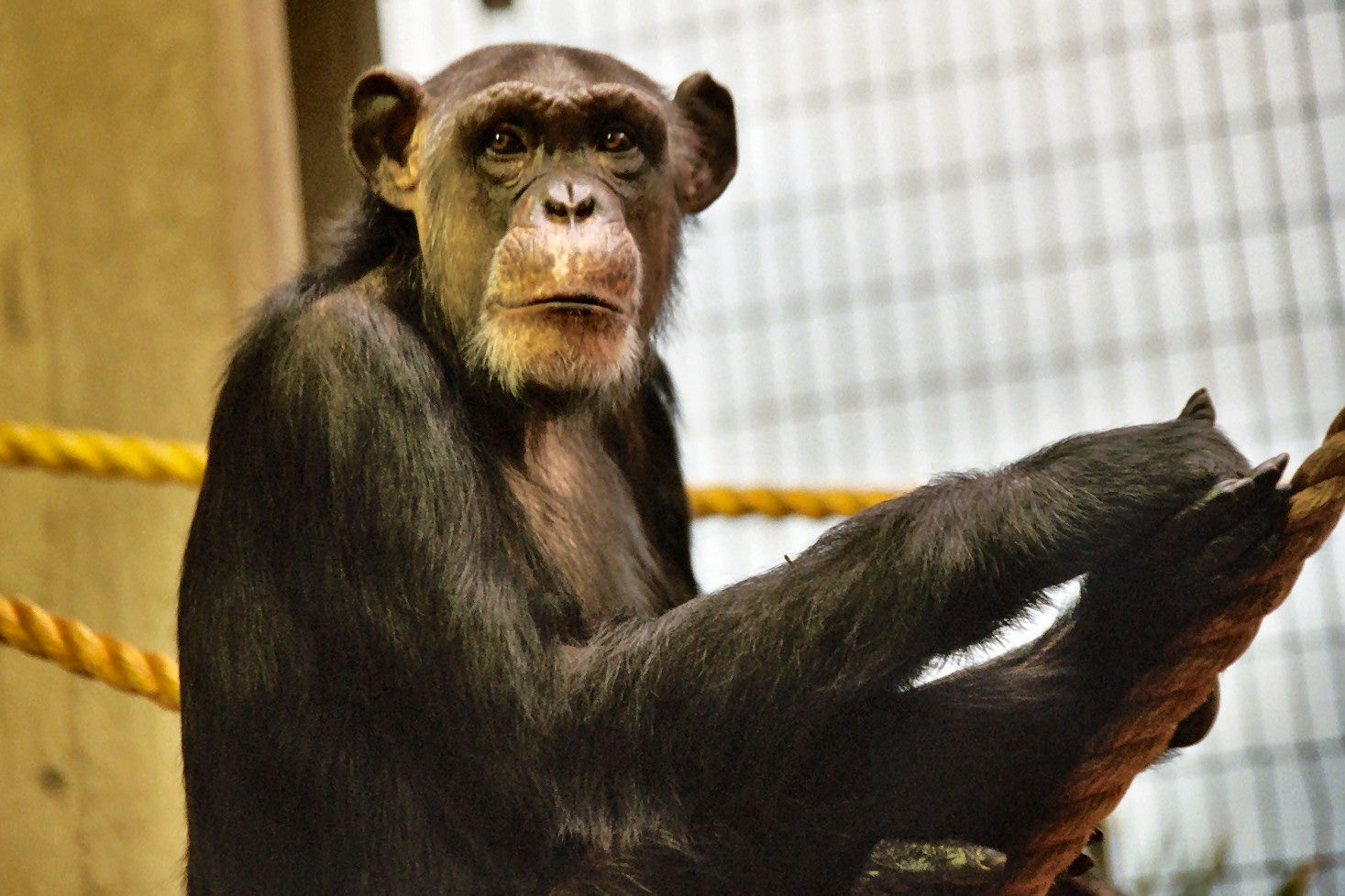 Olivia Sprauer   Chimpanzee at Metroparks Zoo in Cleveland, OH.
