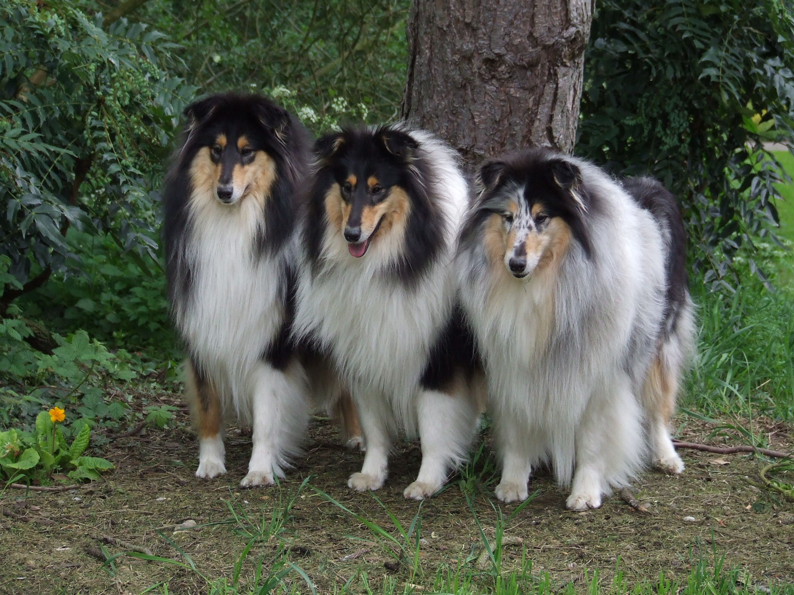 Three Pretty Collies Ladies Shetland Sheepdog Sheltie Dogs