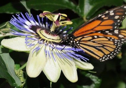 Blue Crown Passion Flower Seeds Aka Passion Vine Passiflora Caerulea The Flowers Are White With A White Passion Vine Passion Flower Passiflora Caerulea