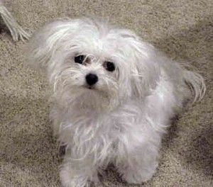 Want To Learn How To Transform Your Maltese S Behavior Click Here