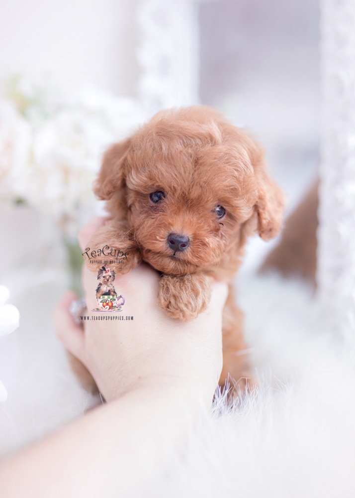 Tiny Toy Poodle Puppies Miami Fl Cuteteacuppuppies Red Toy Poodle Puppy For Sale Teacup Puppies 1 Toy Poodle Puppies Teacup Puppies Teacup Puppies For Sale