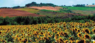 Sunflowers in Tuscany  www.cookintuscany.com