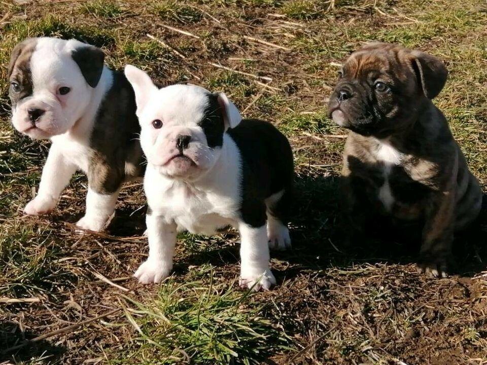 Old English Bulldog Welpen Bulldog Bulldoggen Welpen Welpen Englische Bulldogge