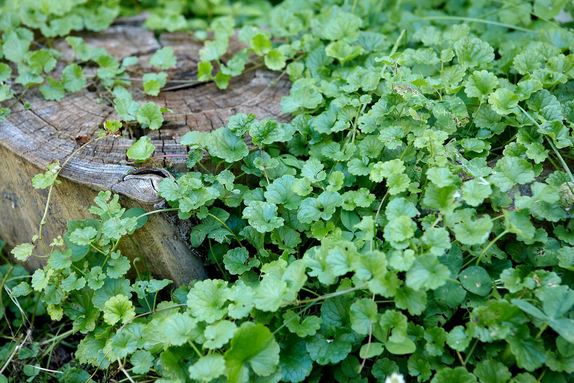 How To Get Rid Of Creeping Charlie And Keep It From Coming Back In 2020 Weeds In Lawn Mosquito Repelling Plants Garden Solutions
